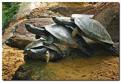 Schildkrötentrio