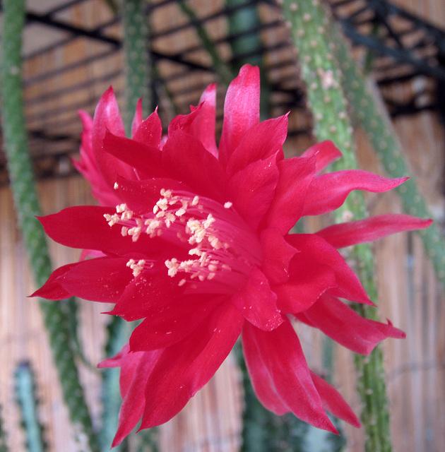 Cactus Flower (0231)