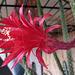 Cactus Flower (0232)