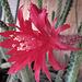 Cactus Flower (0233)