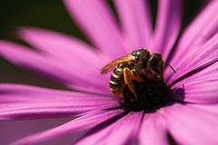 bee on a pink marguerite