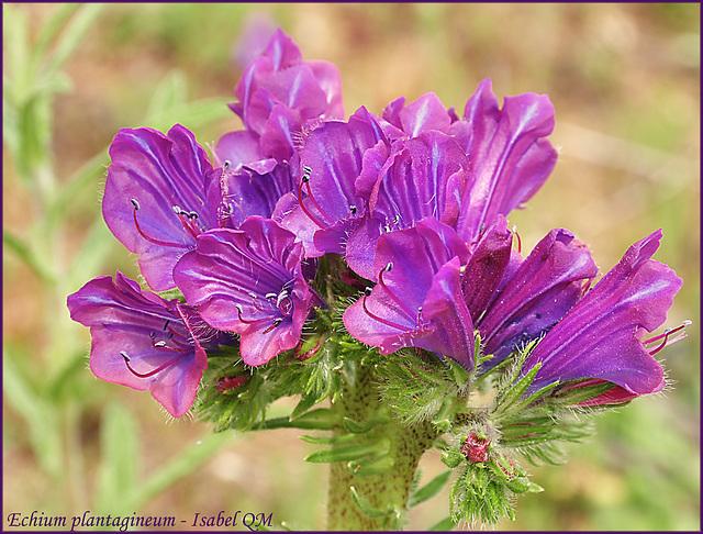 Echium plantagineum fasciatum