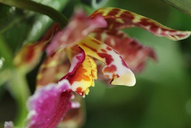 Odontoglossum Violetta Von Holm