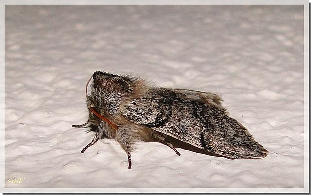 Achlya flavicornis