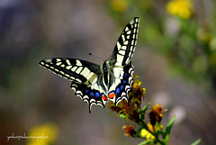 MACAONE..Papilio machaon