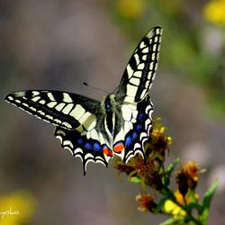MACAONE..Papilio machaon
