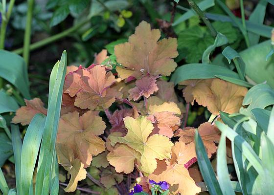 Quelques plantes d'ombre ou mi-ombre 10480813.37e2ecfe.560
