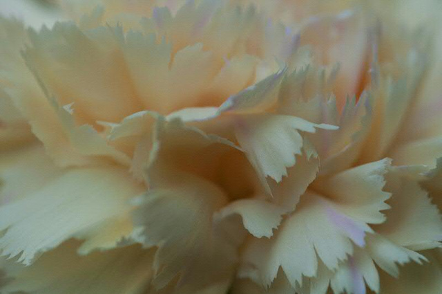 close up of yellow carnation