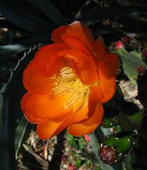 Cactus Flower (1780)