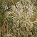 Árvalányhaj - Protektita herbo