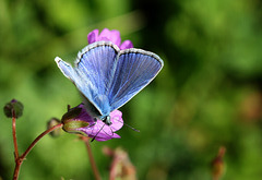 Argus bleu 2