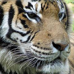 IMG 2522 Sumatra-Tigerin