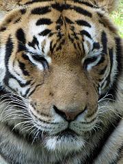 IMG 2531 Sumatra-Tigerin