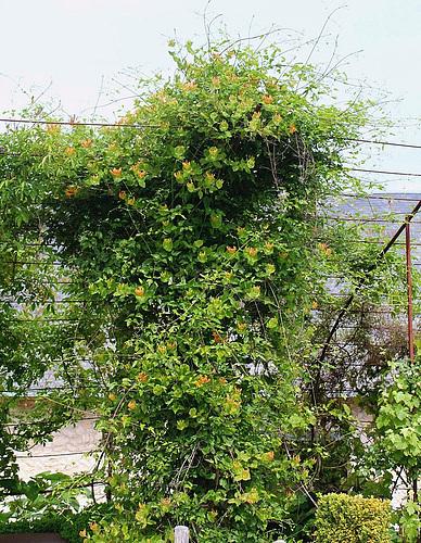 Chèvrefeuille- Lonicera x tellmanniana