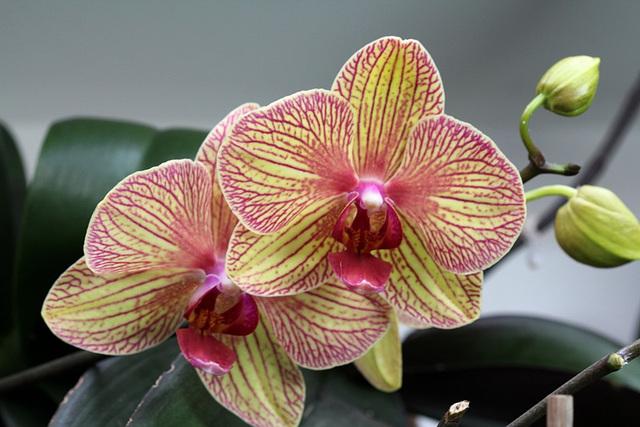 """Phalaenopsis """"Baldan's kaleidoscope"""""""