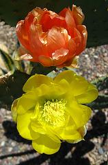 Cactus Flowers (1816)