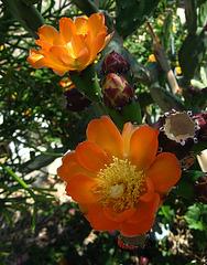 Cactus Flowers (1817)