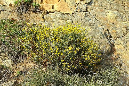 Cytisus purgens = oromediterraneus