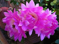 Cactus Flowers (1818)