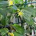 Passiflora citrina
