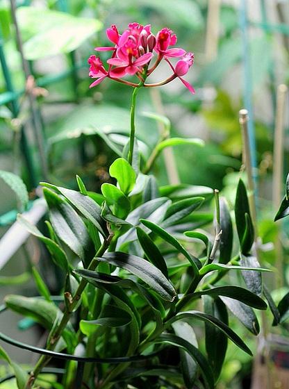 Epidendrum ibaguense 10531643.507f1f41.560