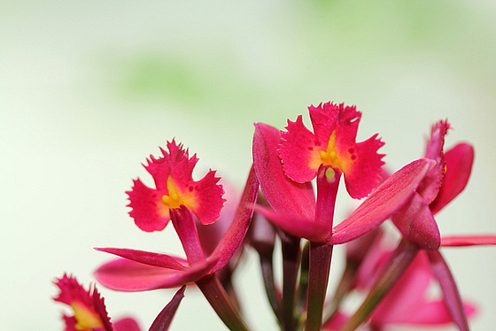 Epidendrum ibaguense 10531651.0eaa1de0.560