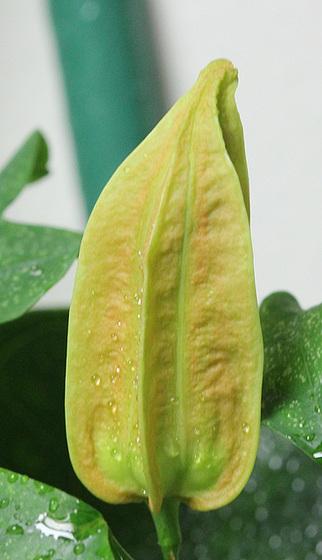 Passiflora aurantia - bouton [devinette] 10381787.e55723f7.560