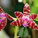 Phalaenopsis hieroglyphica X mariae