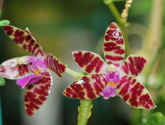Phalaenopsis 'Karen Annie' 10591894.9ac0f36e.560