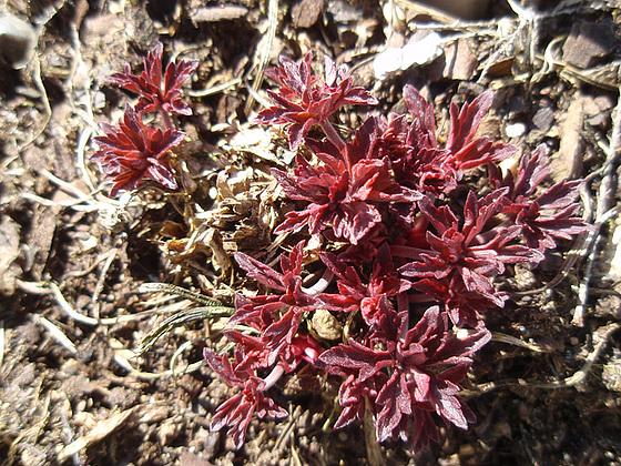 géranium pratense 'hocus-pocus' P3070752