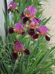 Iris TB -Variété ancienne