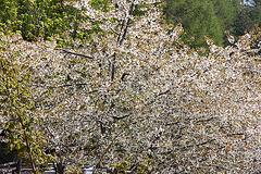 Kirschbaumblüte auf 1333 m Höhe -