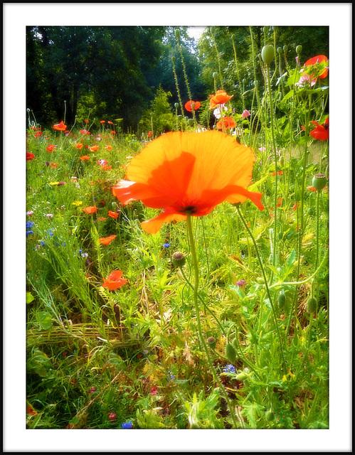 fleurs des champs,
