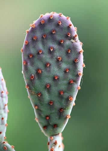 Opuntia microdasys 4
