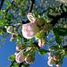Apfelblüte -