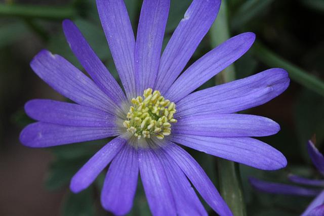anemona blanda violette