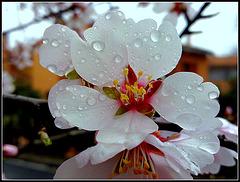Flor de almendro.
