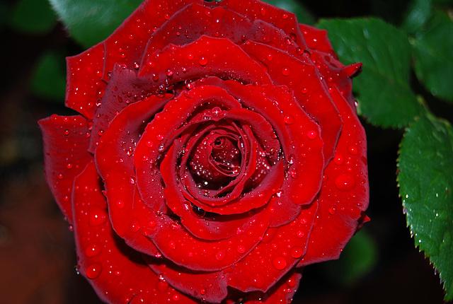 Rosa después de la lluvia primaveral