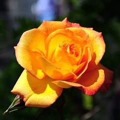 Eine Rose ist eine Rose ist eine Rose.
