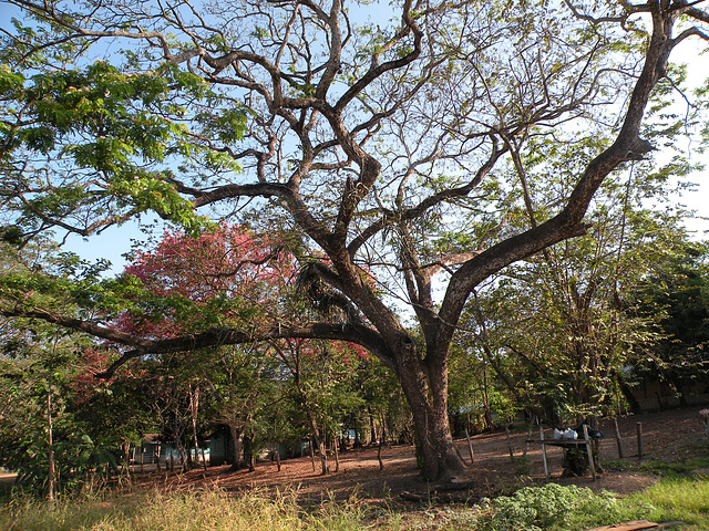Arbol de Guanacaste