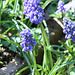 muscari armeniacum double
