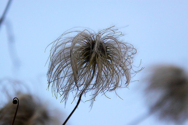 20110207 9758RAw Waldrebe (Clematis)
