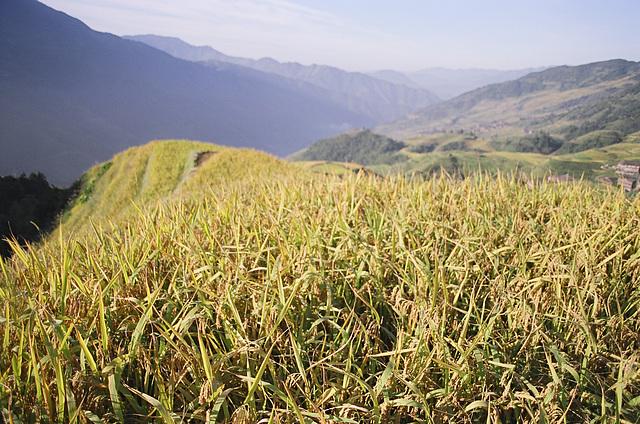 Rice mountain fields