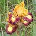Iris Tantrum