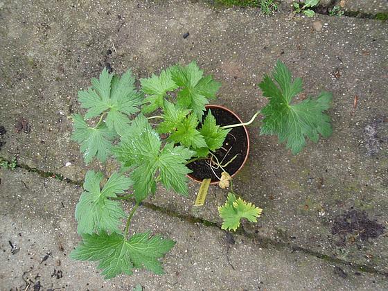 Geranium x psilostemon 'Catherine Deneuve' 10312952.0f4969ff.560