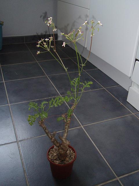 pélargonium carnosum P3260980