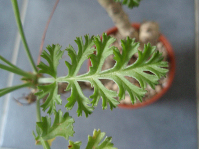 pélargonium carnosum P3260982
