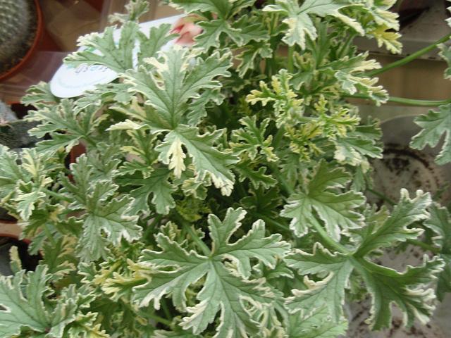 pélargonium graveolens P3260916