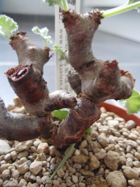 pélargonium mirabile P3260988