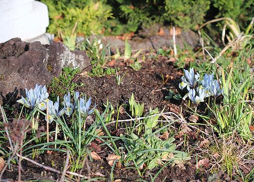 iris histrioides Katharine hodgkin